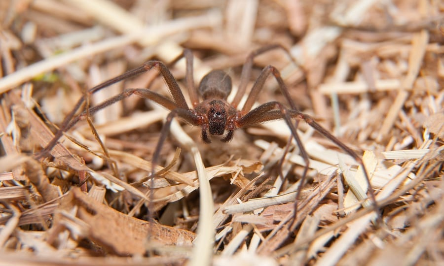 Brown Recluse Spider Phoenix