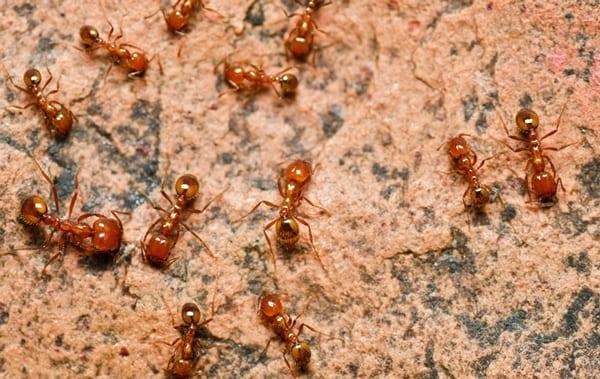Fire Ants in Phoenix