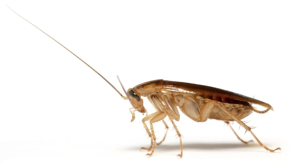 German Cockroach pest control in Phoenix
