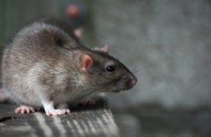 Norway rat in Phoenix