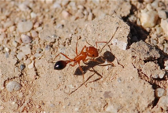 peoria ant removal