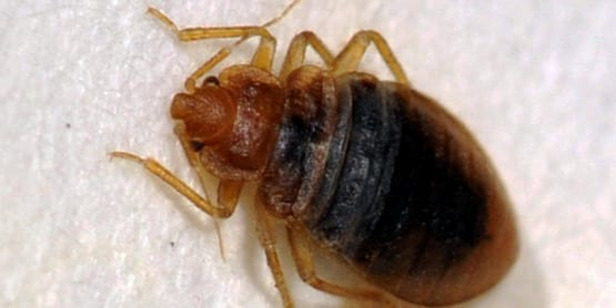 Arizona Bed Bug
