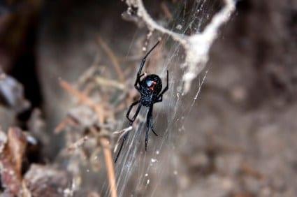 black widow dangerous spider