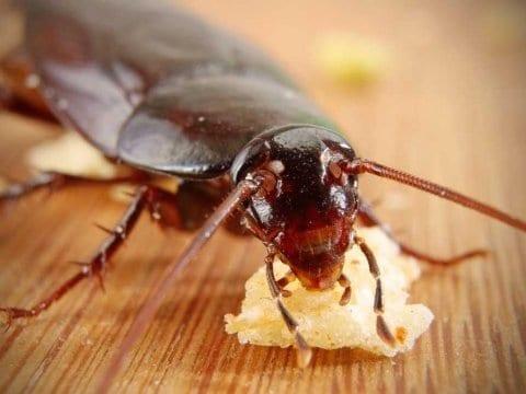 cockroach in arizona