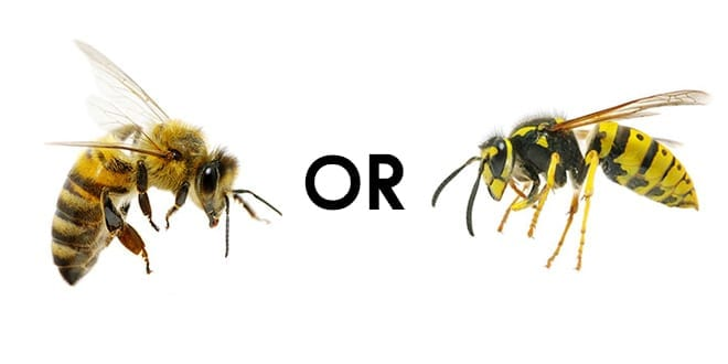 Difference Between Bees and Wasps