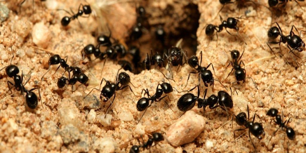 Ant Control Phoenix