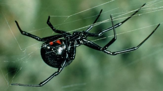 Black Widow Spiders in Chandler & Gilbert: Separating Myths from Facts
