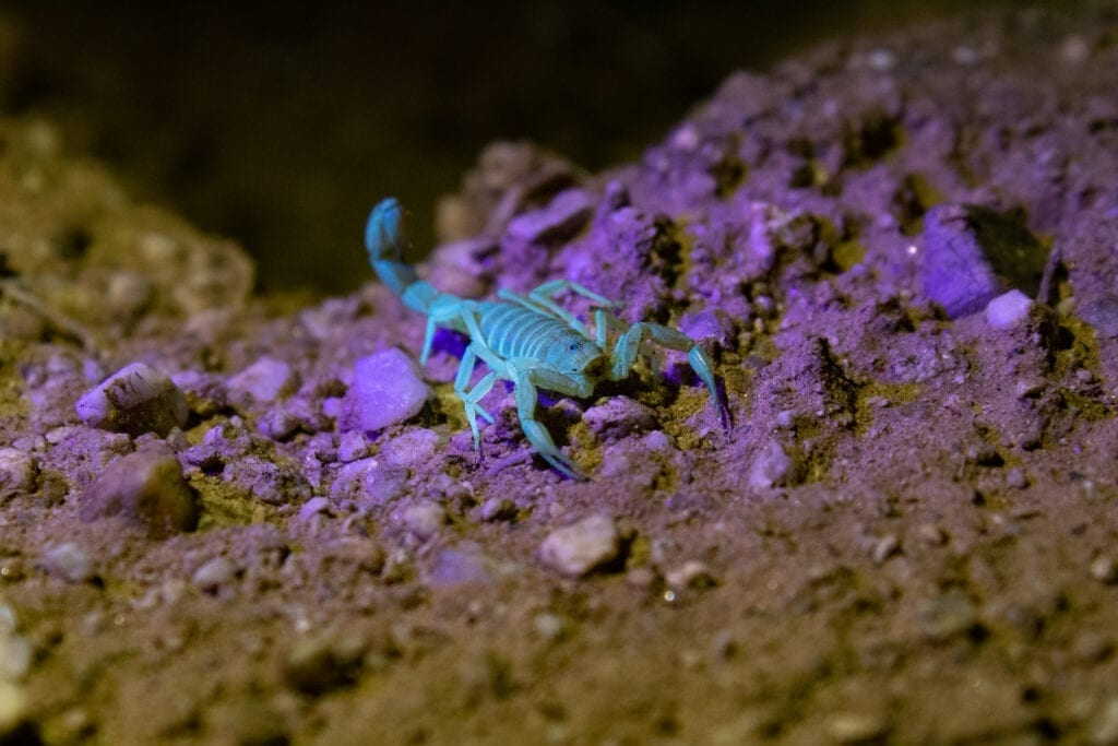 Bark Scorpion Under Black Light