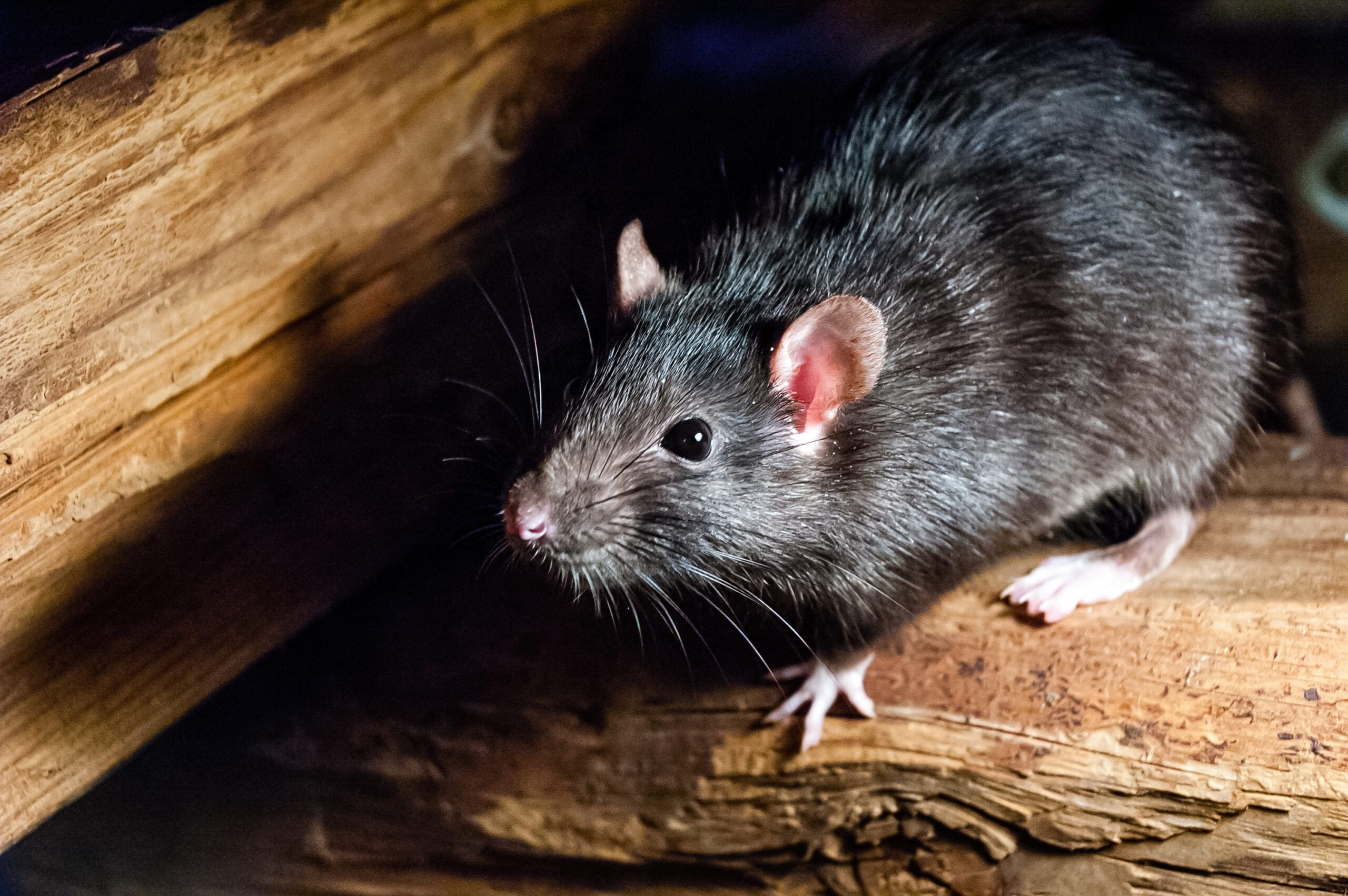 Roof Rat Pest Control