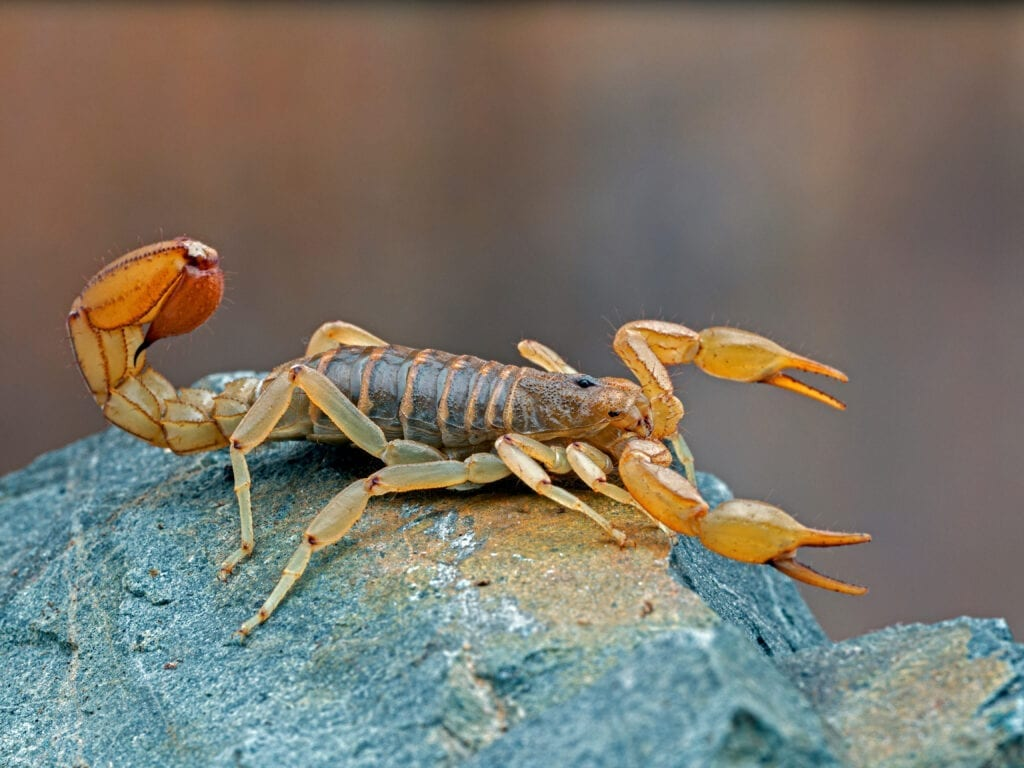 Stripe Tailed Scorpion