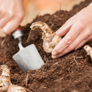 person planting bulb in soil