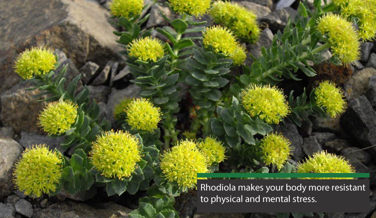 rhodiola rosea can help fight off fatigue