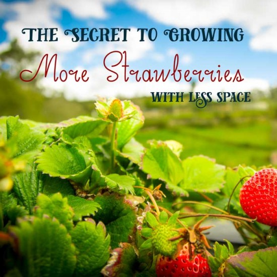 The Secret to Growing Strawberries in the GreenStalk