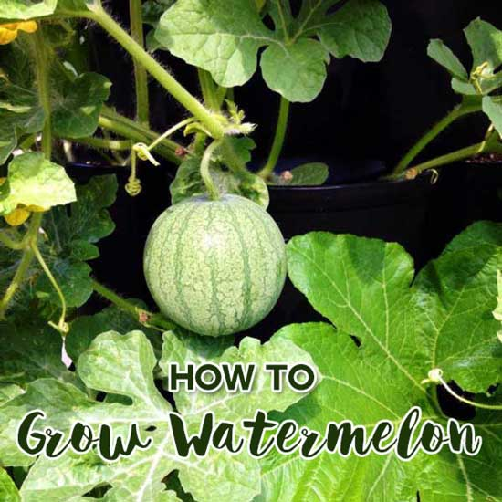 How to Grow Watermelon in the GreenStalk
