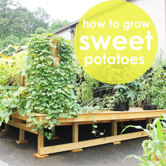 How to Grow Sweet Potatoes Vertically
