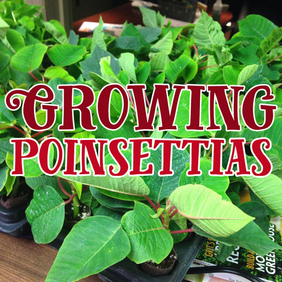Growing Poinsettia Plants