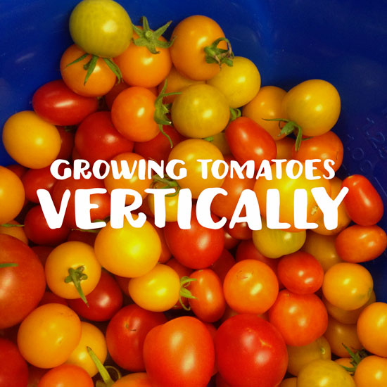 How to Grow Tomatoes in Your GreenStalk