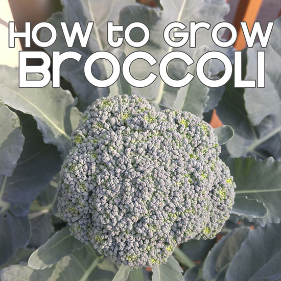 Growing Broccoli in the GreenStalk