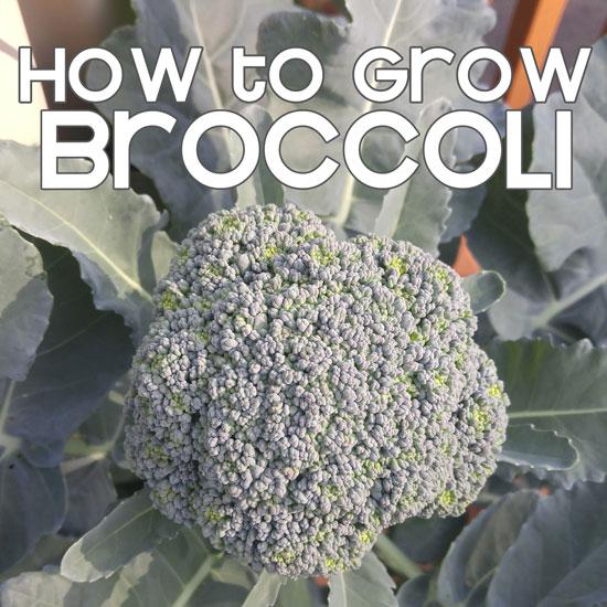 Growing Broccoli in the GreenStalk