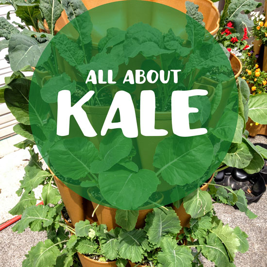All About Growing Kale