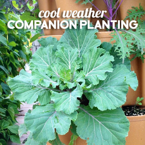 Cool Weather Companion Crops