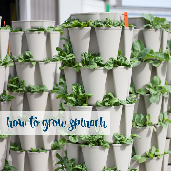 How to Grow a Tower of Spinach