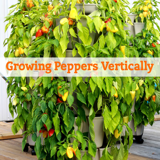 All About Growing Peppers Vertically