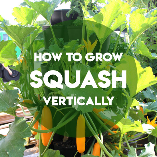 How to Grow Squash and Zucchini Vertically