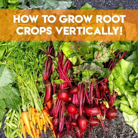 Growing Root Vegetables Vertically