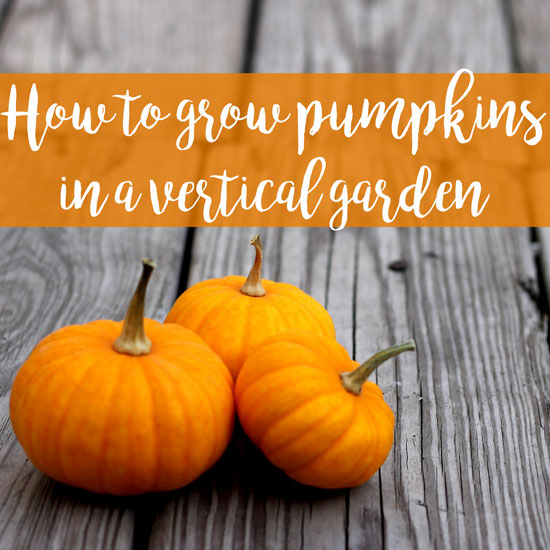 How We Grew Pumpkins in a Vertical Garden