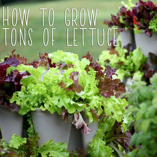 How to Grow Lettuce Vertically for a Huge Harvest