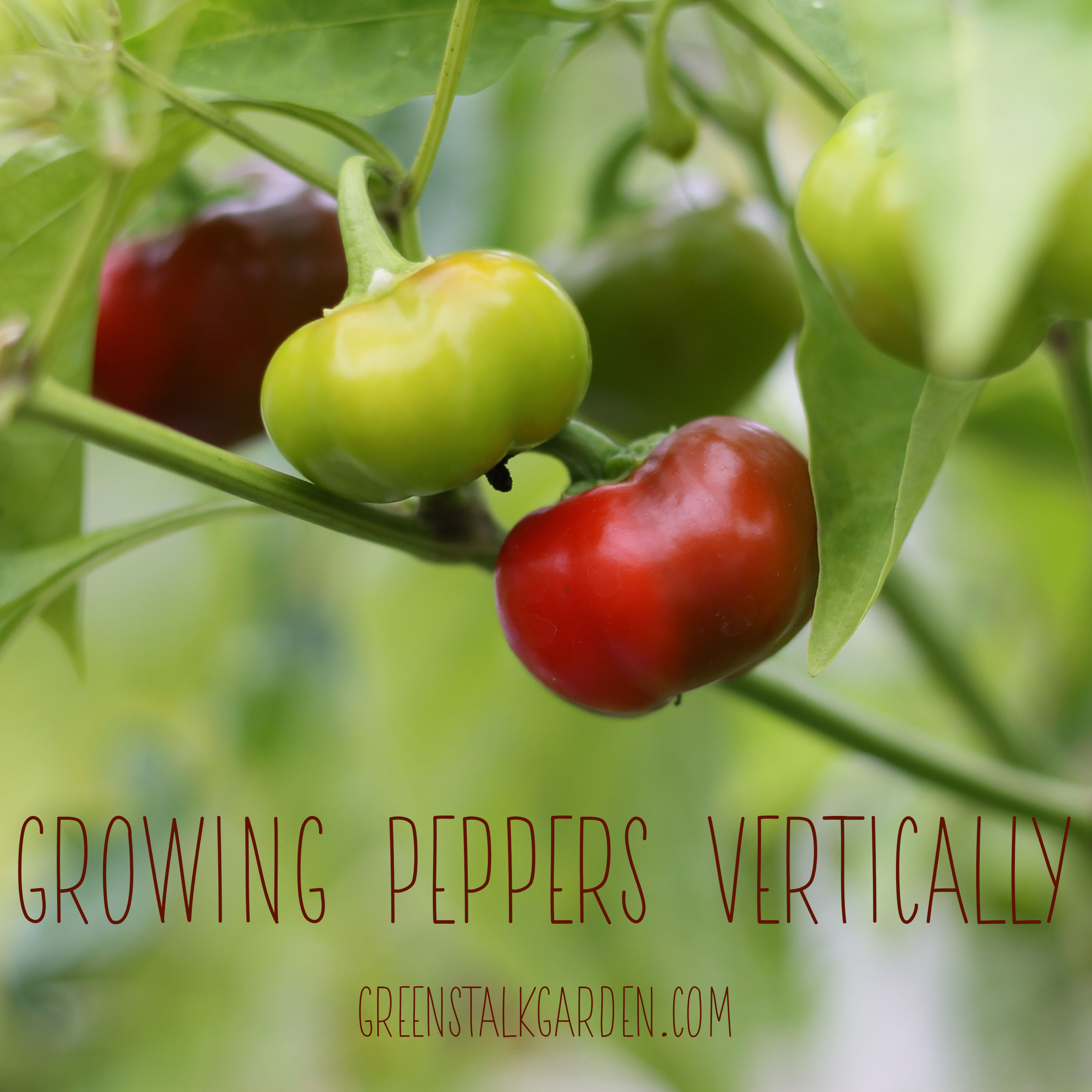 How to Grow Peppers Vertically