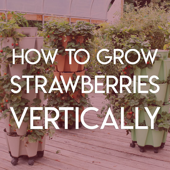 A Complete Guide to Creating a Vertical Strawberry Planter (Plus How to Overwinter Strawberries)