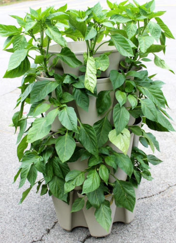 Peppers growing in GreenStalk Vertical Planter