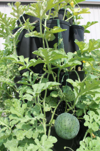 Watermelon Growing in the GreenStalk Vertical Planter