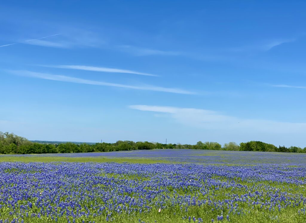 It's easy to see bluebonnets all over Texas