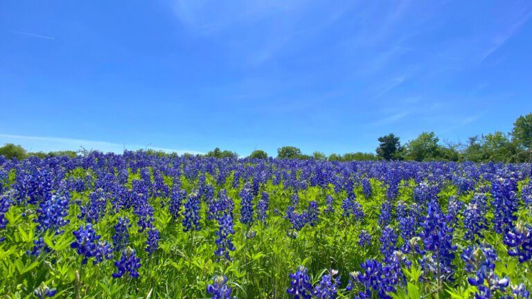 Therefore a road trip is a good way to see bluebonnets