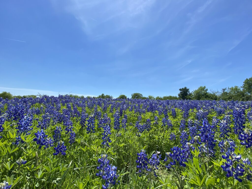 More places to see bluebonnets