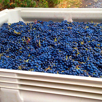Rocky Pond Pond Winery grapes