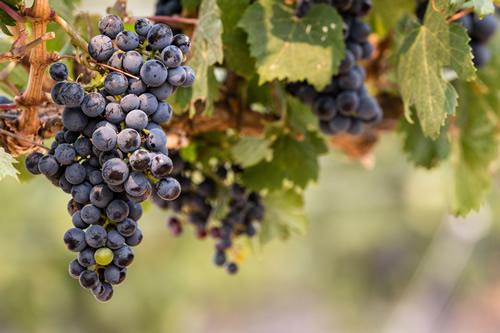 Crush Weekend Grapes