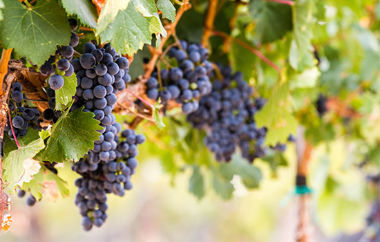 Rocky Pond Winery Grapes