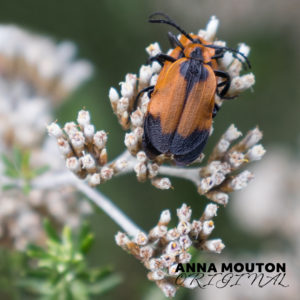 Netwinged beetles — Family Lycidae — mating on blombos — Metalasia muricata. Photo by Anna Mouton.