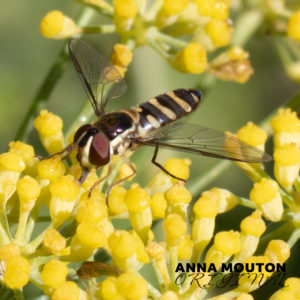 Hoverfly – Family Syrphidae — on fennel — Foeniculum vulgare. Photo by Anna Mouton.