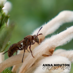 Paper wasp — Family Vespidae — on flower of wild dagga — Leonotis leonurus. Photo by Anna Mouton.