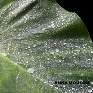 Raindrops on leaf of elephant's ear — Colocasia esculenta. Photo by Anna Mouton.