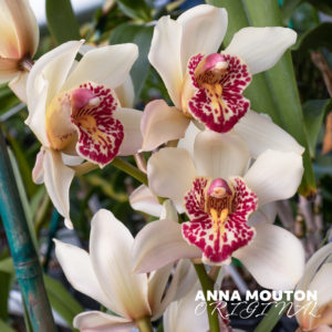 White cymbidium orchid flower with red detail. Photo by Anna Mouton.