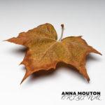 Autumn leaf of plane tree — Platanus x acerifolia. Photo by Anna Mouton.