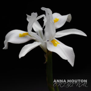 Flower of Moraea fugax. Photo by Anna Mouton.
