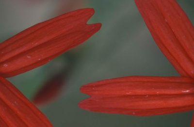 close-view-of-the-red-flowers-petals-of-a-fire-pink-plant-725x477