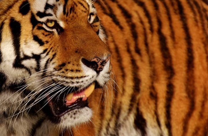 More than a third of protected areas in Asia may lose tigers